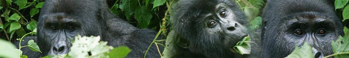 agorilla-safari-rwanda