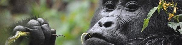 gorilla-safaris2