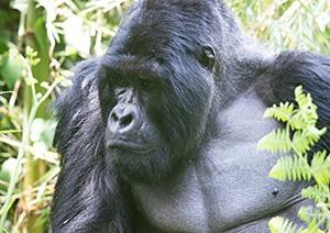 5 Days Uganda Gorilla Safari Bwindi & Kibale