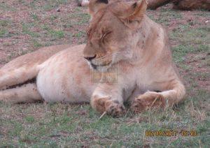 7 Days Maasai Mara Kenya Safari & Amboseli National Park Tour