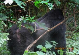 1 Day Rwanda Gorilla Safari to Volcanoes National Park