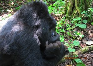 4 Days Rwanda Gorilla Safari & Bisoke Volcano Hiking