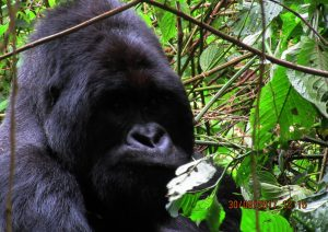 5 Days Rwanda Chimpanzee Safari & Colobus Monkey Tracking