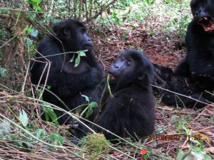 7 Days Rwanda Gorilla, Chimp & Birding Safari