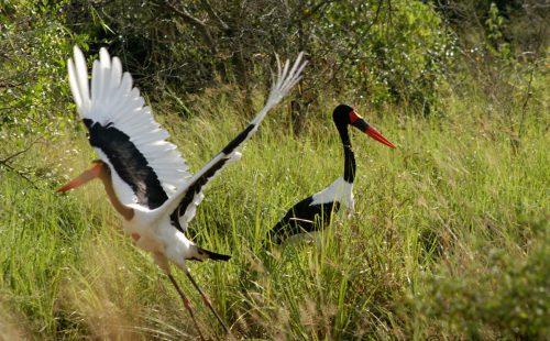 Birding Murchison Falls National Park Uganda