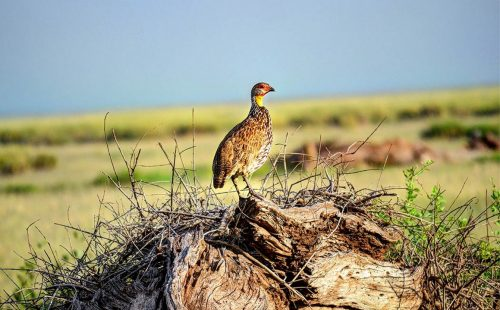 Birdlife in Amboseli National Park