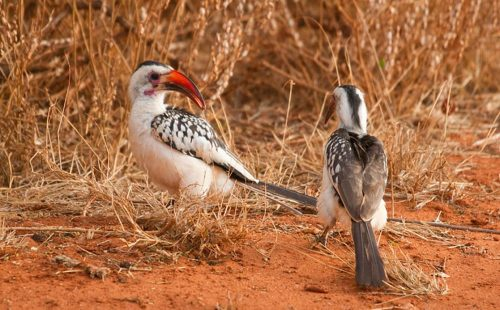 Birdlife in Tsavo East National Park