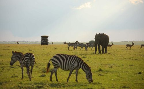 Game driving safari in Maasai Mara National reserve.