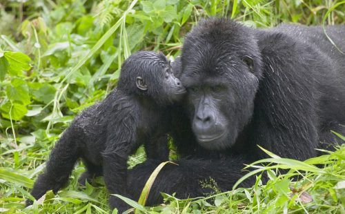 Mountain Gorilla trekking in Bwindi