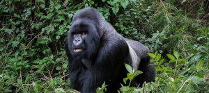 Trekking the Silver back Gorillas and Golden Monkeys in Mgahinga Gorilla