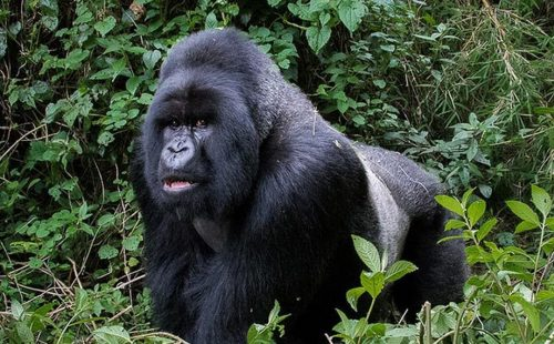 Trekking the Silver back Gorillas and Golden Monkeys in Mgahinga Gorilla