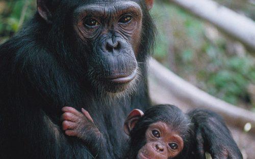 1 Day Tour Ngamba Island Chimps