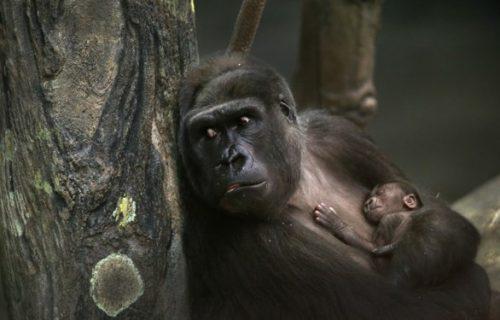 12 Days Uganda Rwanda Congo Gorilla, Chimpanzee & Wildlife Safari