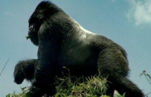 13 Days Uganda Kenya Tanzania Gorilla, Chimpanzee & Wildlife Safari
