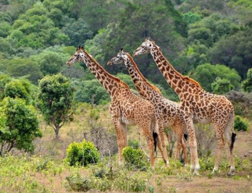 Aberdares National Park – The Ultimate Kenya Wildlife Safari Destination- Kenya safari News