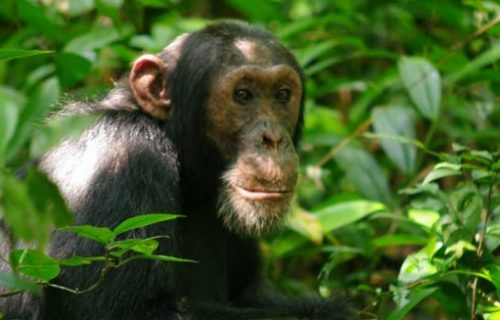 2 days Chimpanzee Trekking Safari in Uganda to Budongo Forest