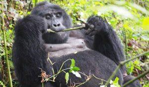 3 days Gorilla Safari in Rwanda and Uganda