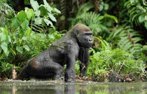 5 Days Congo Lowland Gorilla Tour & Nyungwe Chimpanzees
