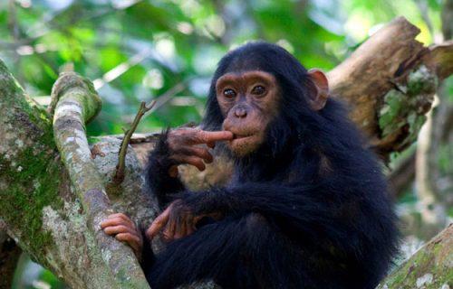 5 Days short Uganda Safari with Primates Trekking