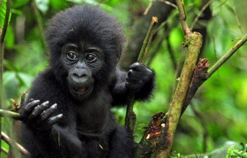 6 days gorilla tracking and wildlife safari in Uganda