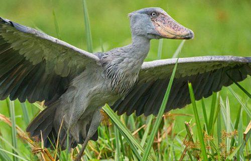 Birding Watching Safari in Uganda- 14 days