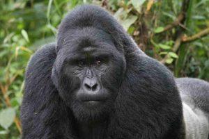 Gorilla Safari in Uganda;