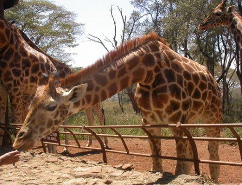 Giraffe Manor Kenya; A must stop Africa safari destination – Kenya safari News