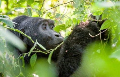 Gorilla, Chimpanzee, Wild game, Safari 12 Days