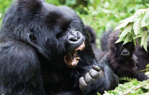 Gorilla trekking Safari Tour 8 days
