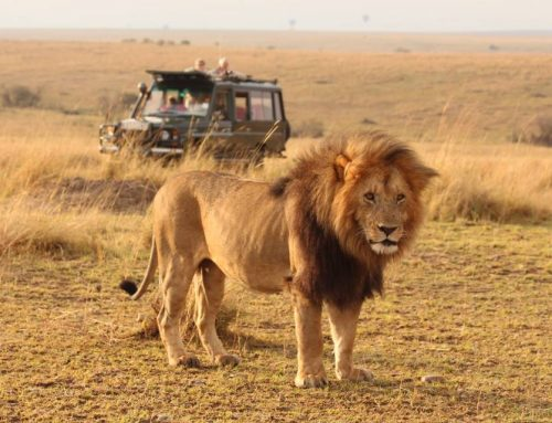 Let's Have the African Side Of Lion King Movie With A Kenya Safari To Masai Mara Reserve