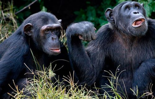 Ngamba Island Chimpanzee short Uganda Safari 2 days
