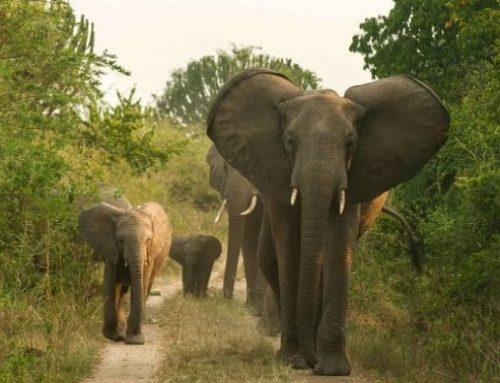 Visit Tsavo East National Park for a Beautiful Kenya Wildlife Safari- Kenya Safari News