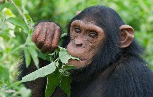 Short Chimpanzee Habituation Safari in Uganda 3 Days