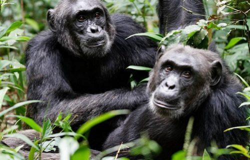 Short Chimpanzee trekking in Uganda Kibale-3 days