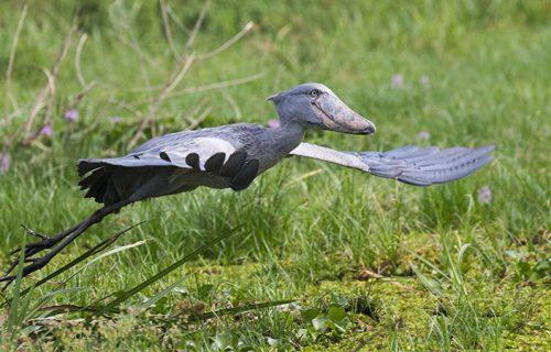 Uganda Birding Watching Safari -21 days