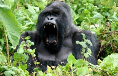 Uganda Gorilla Safari, 6 Days
