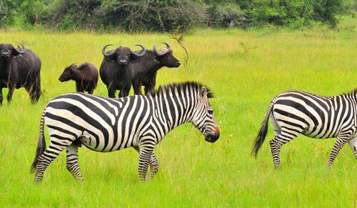 Wildlife Safari in Uganda 8 days