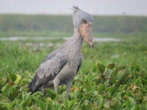 birds in queen elizabeth national park