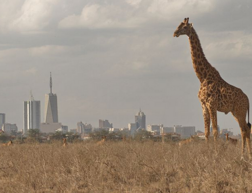 Visit the only National Park in Africa situated in a capital city; Nairobi National Park- Kenya safari News