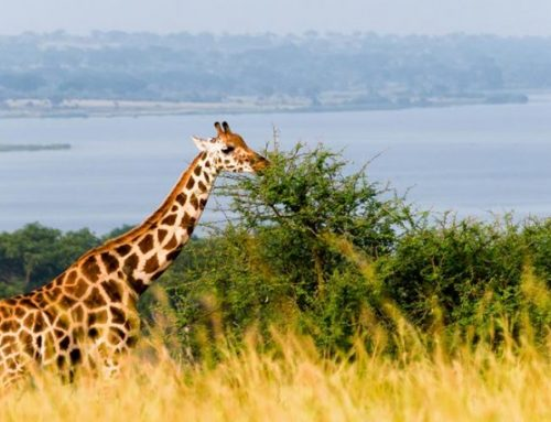 A Kenya Wildlife safari to Lewa Conservancy – Kenya Safari News