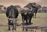 wildlife in semuliki national park